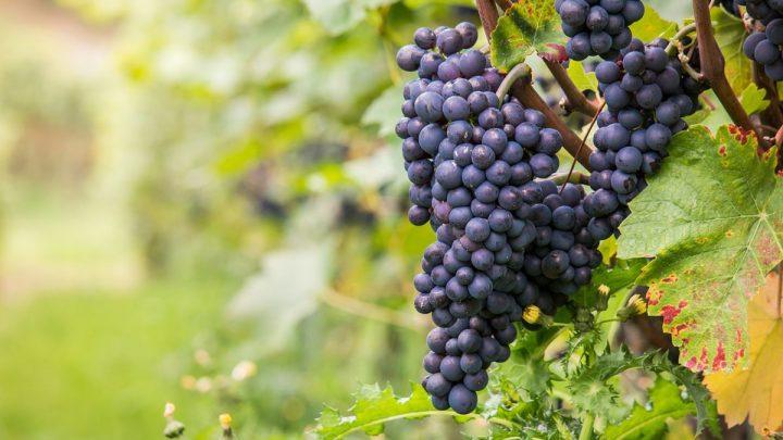 vinos y uvas pinot noir