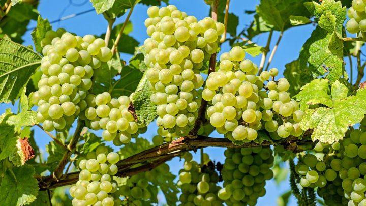 conceptos basicos del vino blanco