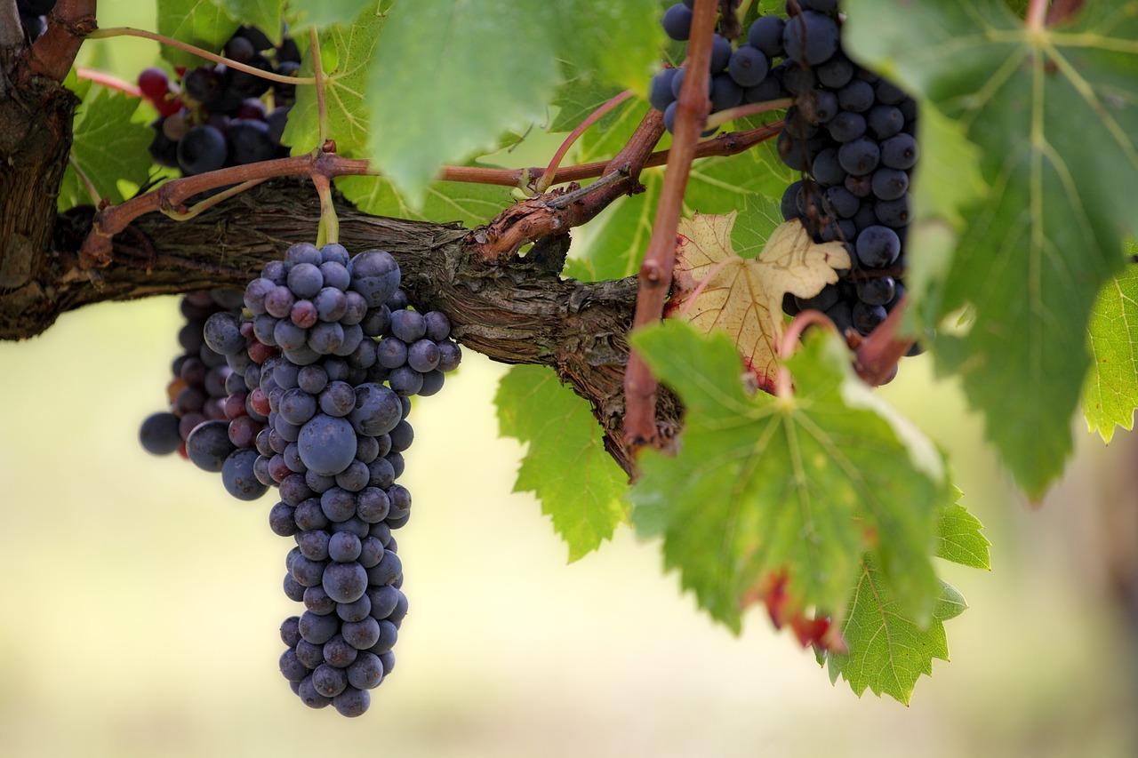 Uva vinos mas caros del mundo