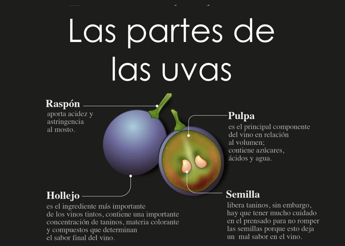 ¿Conoces las partes de la uva?