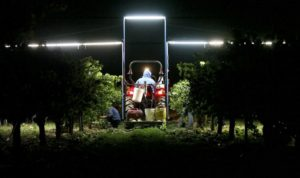 Vendimia nocturna: ventajas e inconvenientes